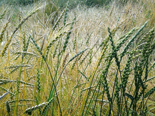Graul spelta – cereala magica