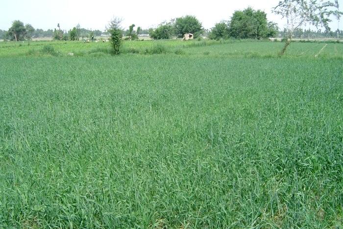 Naturya Organic Barleygrass Powder Orz verde