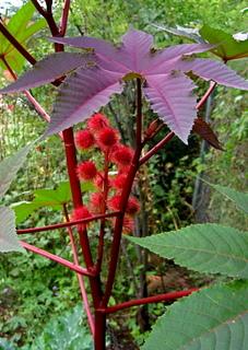 planta-de-ricin