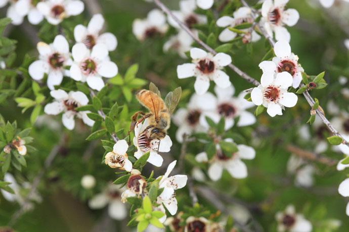 Bee-NewZealand-Manola15