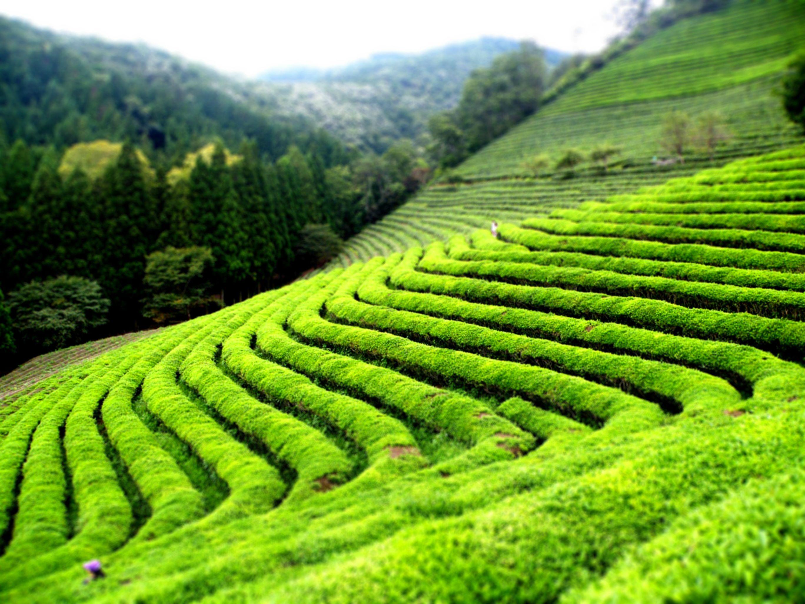 Sfaturi de preparare a ceaiului verde ca la carte
