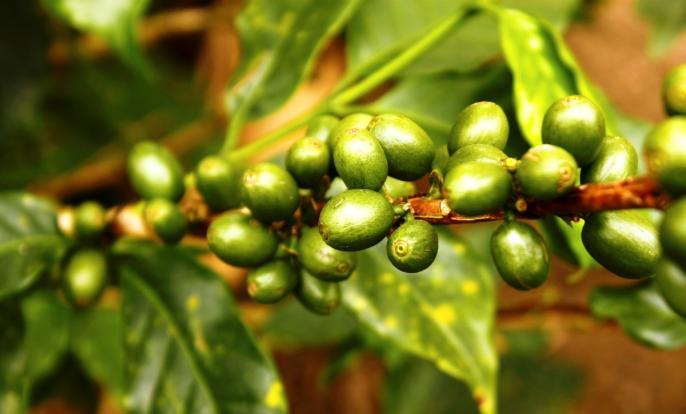 Cafea verde  beneficii