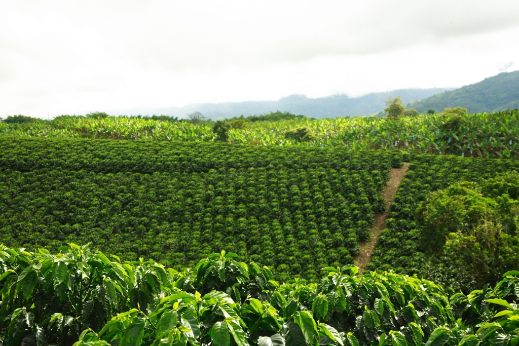 coffee-farm-colombia-2
