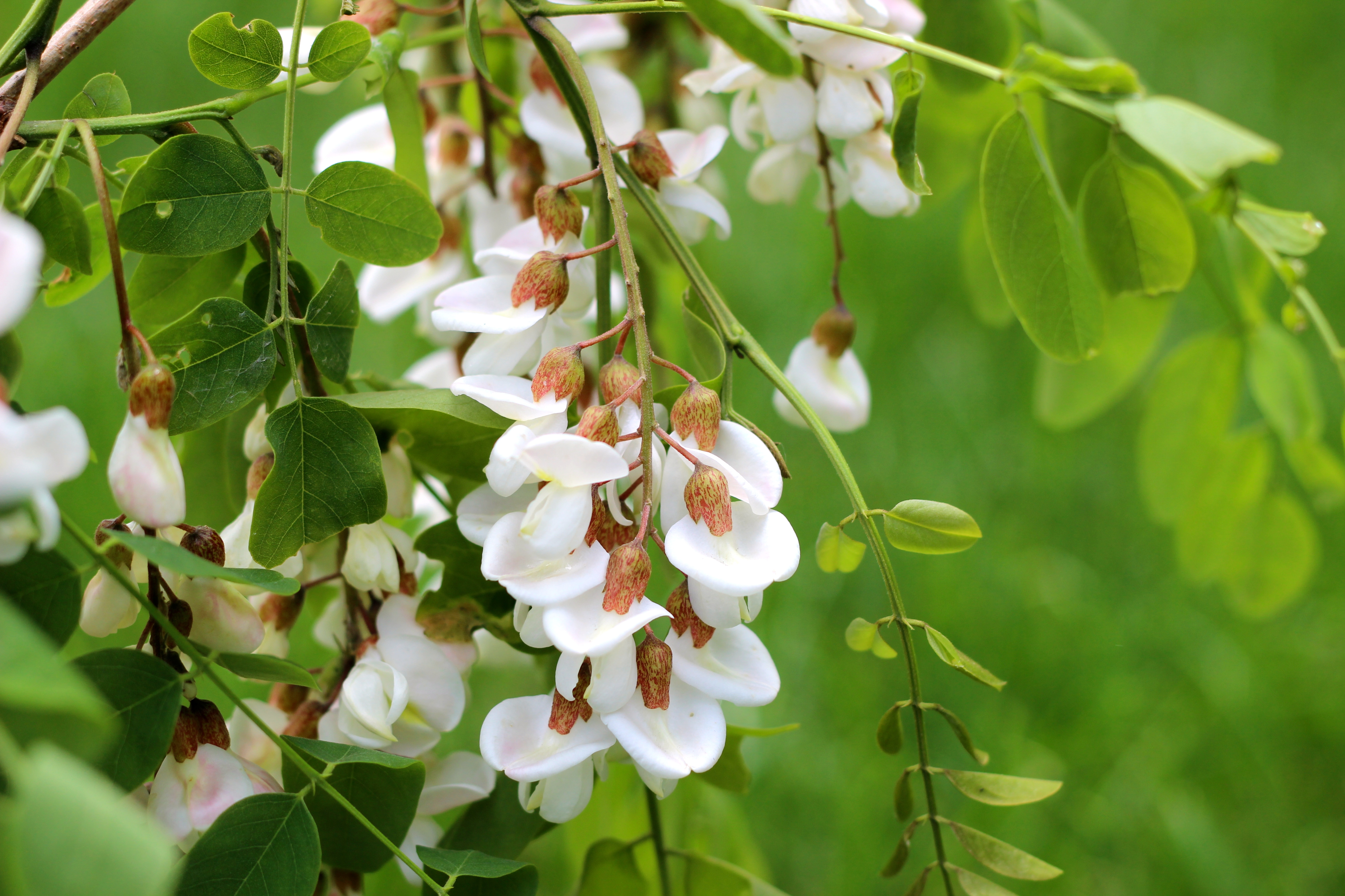 Florile de salcam – mai mult decat frumos mirositoare