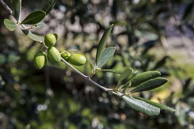 Beneficiile nebanuite ale frunzelor de maslin