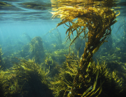 giant_string_kelp_5