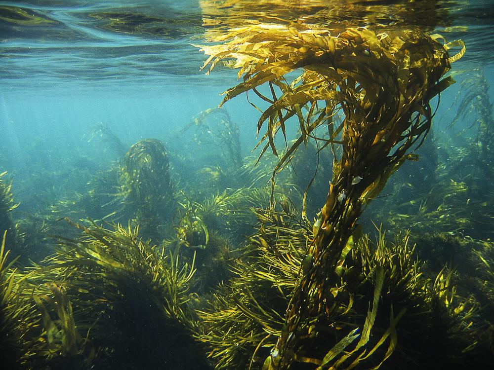 Kelp – Sanatate din ocean