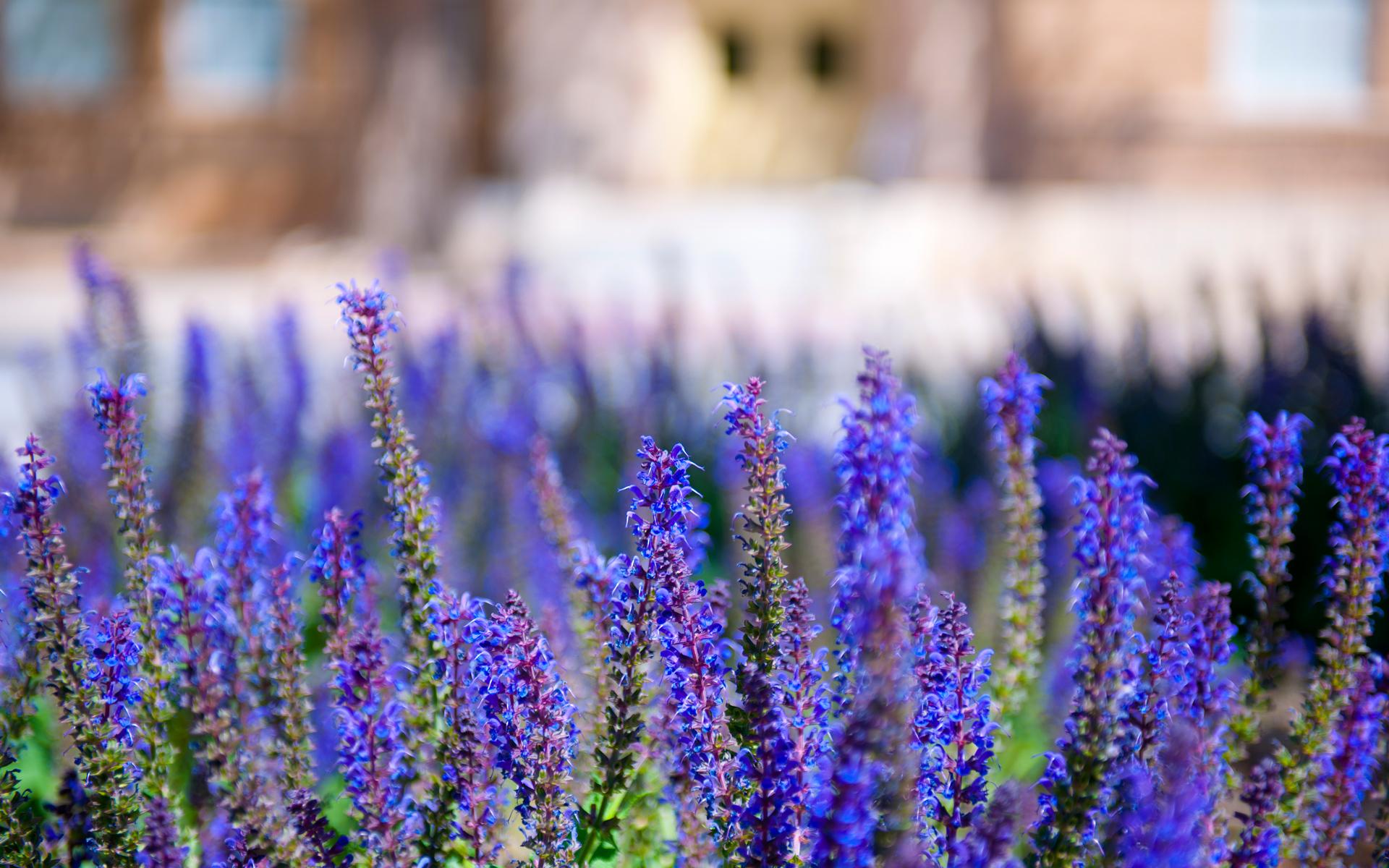 Salvia – ajutorul tau in fortificarea organismului