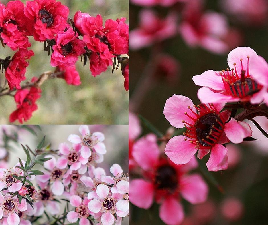 floarea-de-manuka