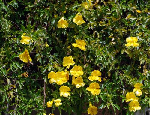 Gheara mâţei: planta benefică pentru articulații și imunitate