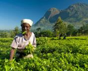 plantatie fairtrade