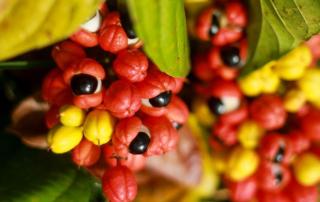 Guarana pulbere