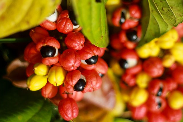 Guarana pulbere – energizant natural și înlocuitor excelent al cafelei