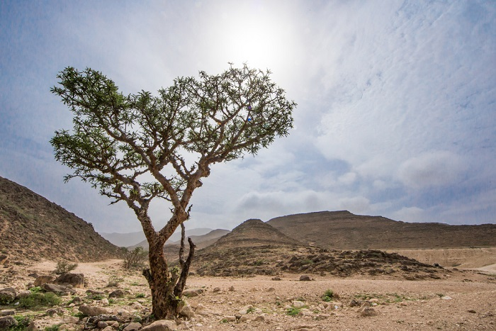 arbore de Boswellia serrata