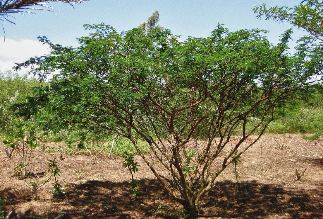Arbore de Mimoza tenuiflora