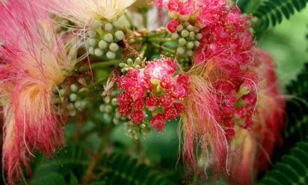 Mimoza, planta care a vindecat arsurile răniților de la San Juanico