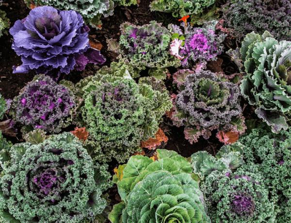 Varza kale: Sursa de nutrienti si vitamine