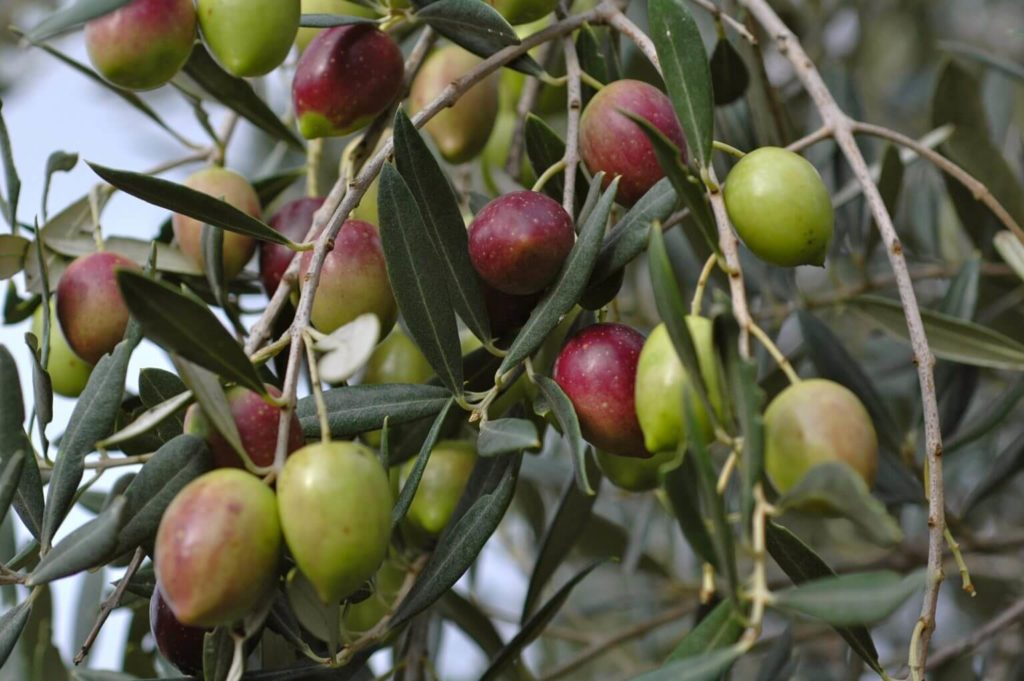 Arbore de măslin