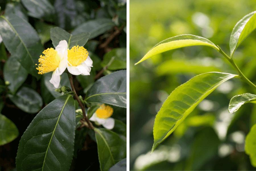 Camellia sinensis 1