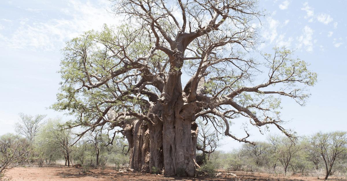 Arbore african