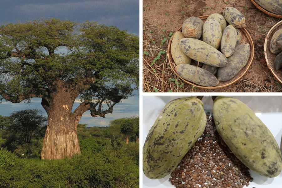 Beneficii consum arbore african