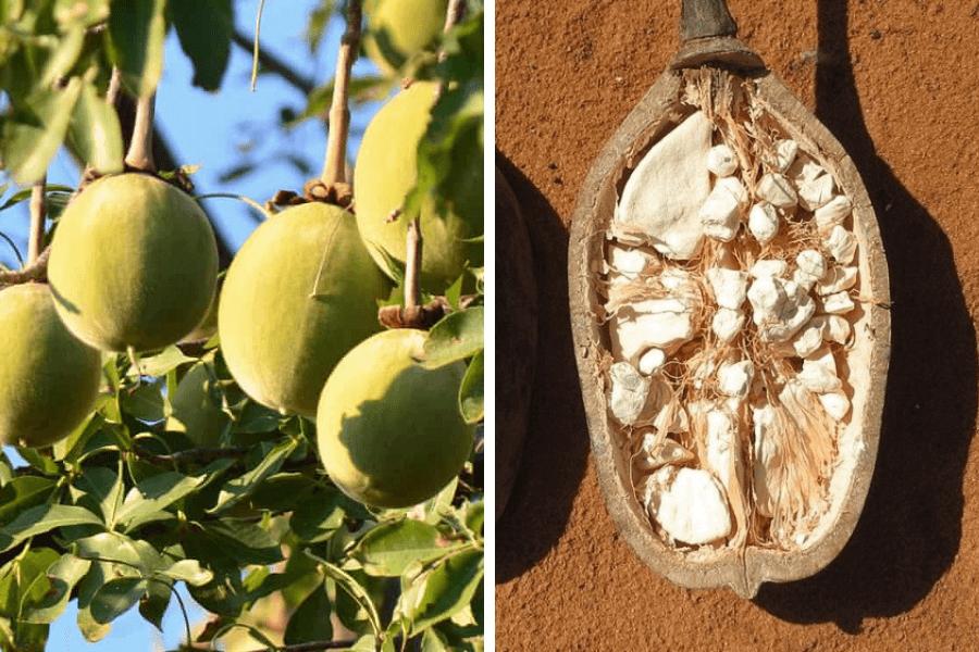 Fructe arbore african