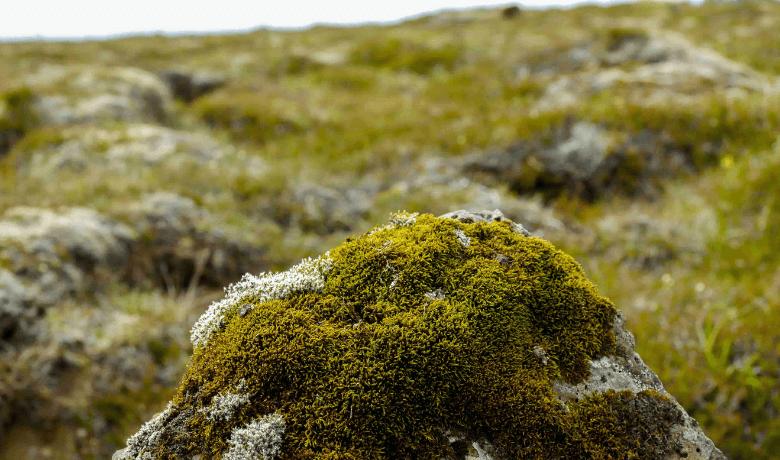 lichen de piatră